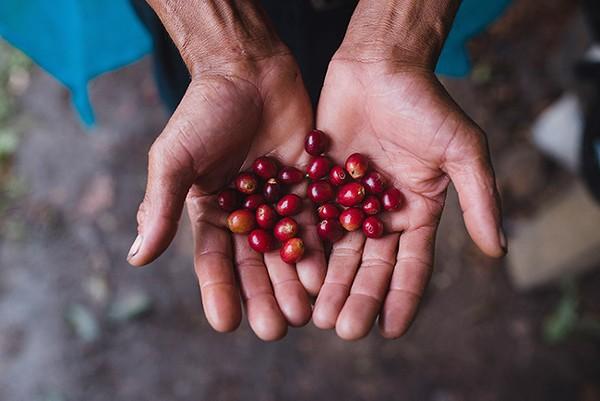 Ripened Peruvian coffee beans. (Photo by Nahun Rodriguez)