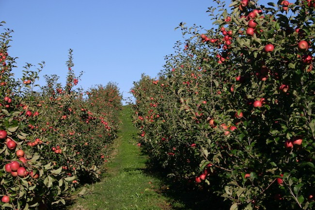 (Photo Courtesy of Perry Lowe Orchards)