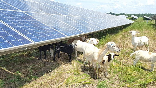 Some 230 sheep browse 123 acres of arrayed with iconic silver-trimmed blue solar panels. (Photo by Alison Leininger)