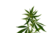 Why Choose Autoflowering Cannabis Strain?