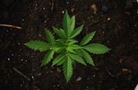 10 Tried-and-Tested Tips for Buying Marijuana Seeds Online without Creating Attention