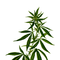 Why Choose Autoflowering Cannabis Strain?