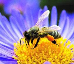 Honey bee on purple and yellow daisy type flower - Uploaded by ajnewso2