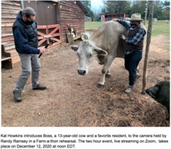 Kat Howkins introduces Boss, a 13-year-old cow and a favorite resident, to the camera held by Randy Ramsey in a Farm-a-thon rehearsal. The two hour event, live streaming on Zoom,  takes place on December 12, 2020 at noon. - Uploaded by superjaydee