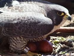 1c53ccd9_peregrine_falcon_with_eggs.jpg