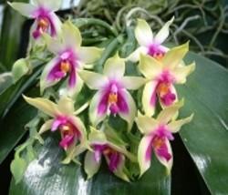 c4d0d6dd_orchid_2_valentine_pic_full.jpg