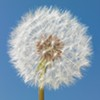 Where to find it: Dandelions