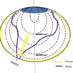 A diagram of cones and rods in a healthy eye