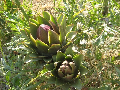 An artichoke plant on the grounds of the agriturismo