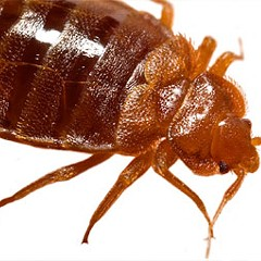 Bedbugs: not dead yet
