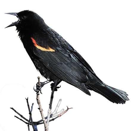 red-winged-blackbird-magnum.jpg