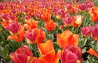 Tulip mania is happening like right now