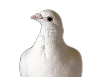 How to . . . call a dove