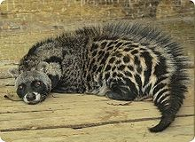 Our friend the civet