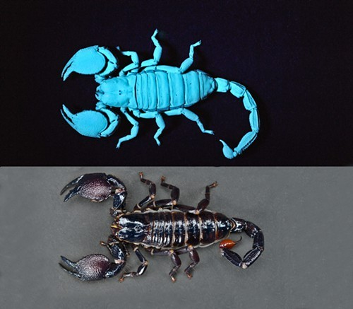 Scorpions, fluorescing and nonfluorescing