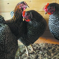 Show us your . . . backyard chickens