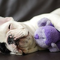 Show us your . . . Instagram-famous French bulldog