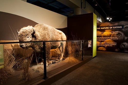 The bison, not alive, but in fine condition