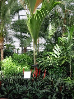 The Conservatorys late double coconut palm