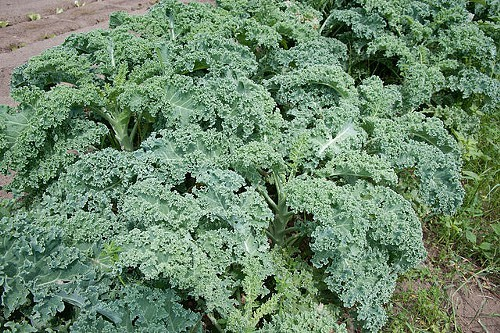 The dreaded kale