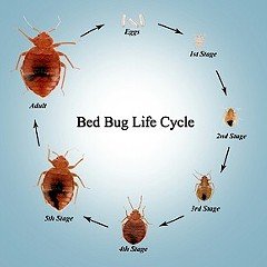 The perils of bedbug research