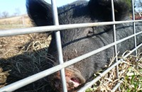 The Whole Hog Project: More piglets coming. A lot more.