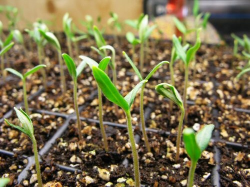 spr09_first-tomato-seedlings.jpg