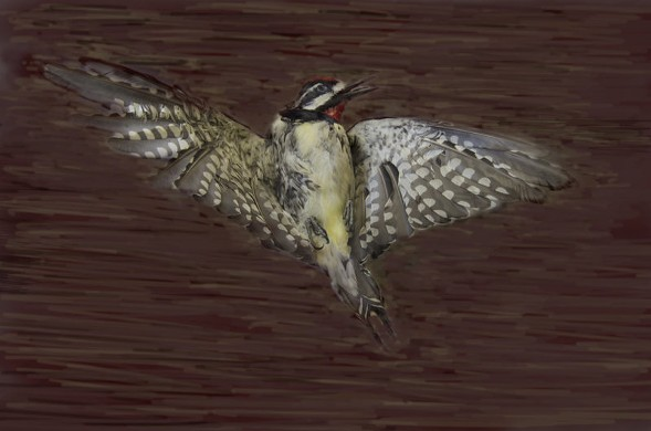 Yellow-Bellied Sapsucker, Art Fox - COURTESY PEGGY NOTEBAERT NATURE MUSEUM