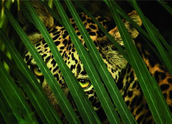 A leopard's spotted coat provides camouflage in the dense forest. - BEVERLY JOUBERT/NATIONAL GEOGRAPHIC