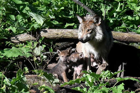 A Mexican gray wolf and her two puppies at Brookfield Zoo - SUN-TIMES