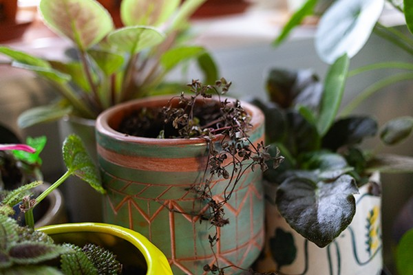 This pilea libanensis makes me cry because it was huge and doing great—and then it wasn't. - SARAH BECKETT