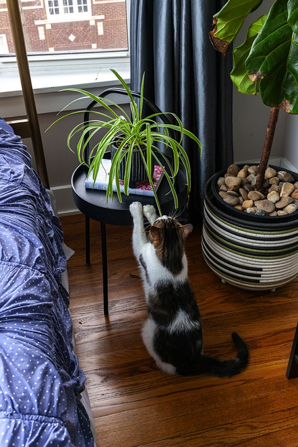 Sweet Dee snacks on a spider plant. - SARAH BECKETT