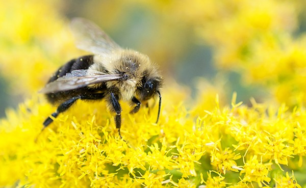 Bee at Starved Rock State Park - NICK ESCOBAR