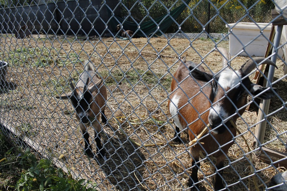 Alongside fruits, vegetables, and herbs, several goats also call the South Chicago UGC farm home. Feeding them is as simple as plucking nearby grass and sticking it through the fence. - ADAM M. RHODES