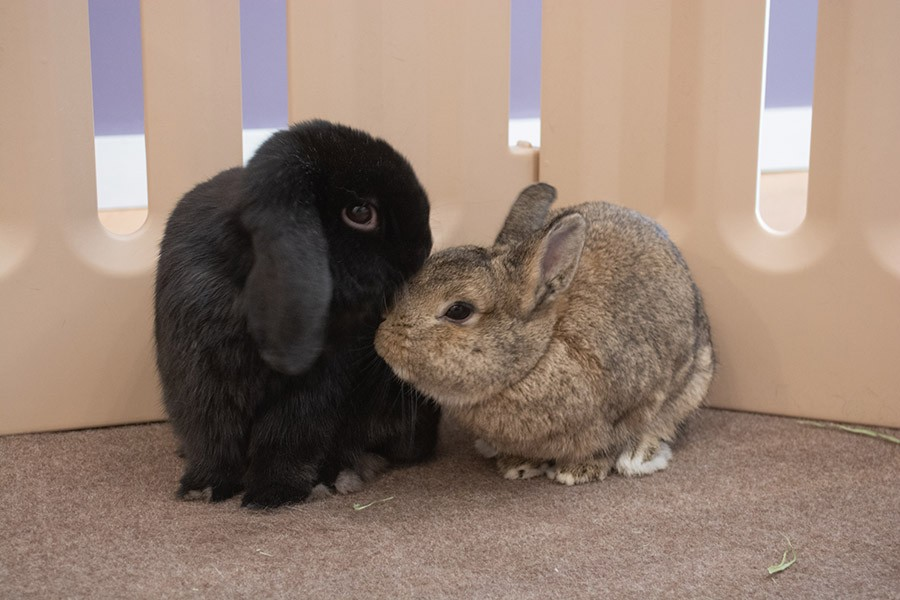 Lil Bear, a mellow mini lop, with Fiona, a tiny speed demon. - ORIANE PLAYNER