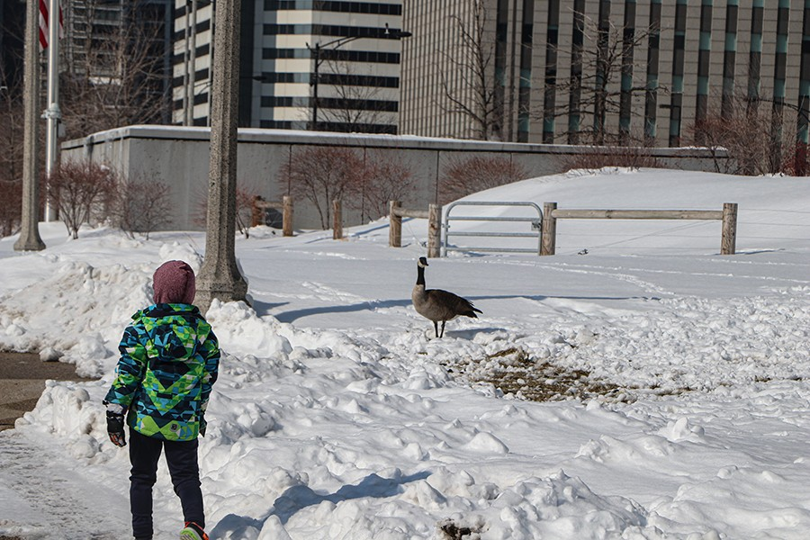 This child is one of several people that stopped to look at a Canada Goose on the side of a sidewalk in Maggie Daley Park on February 19. - CAROLINE CATHERMAN