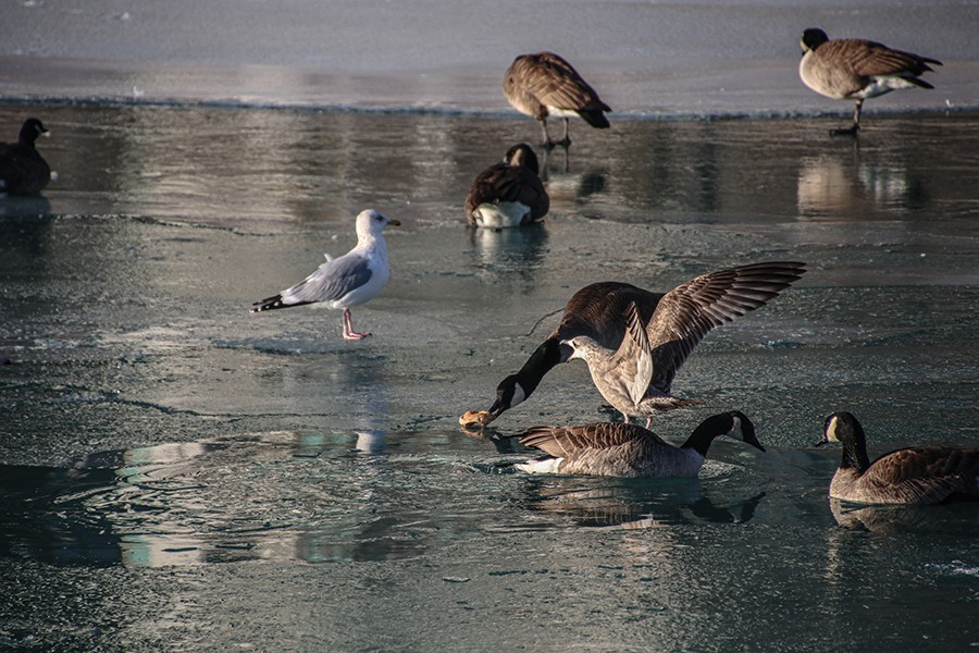 A Canada Goose steals a bun from a seagull at DuSable Harbor on Friday, January 29, 2021. Canada Geese don't have trouble competing for food in the city because they are the largest birds here. - CAROLINE CATHERMAN