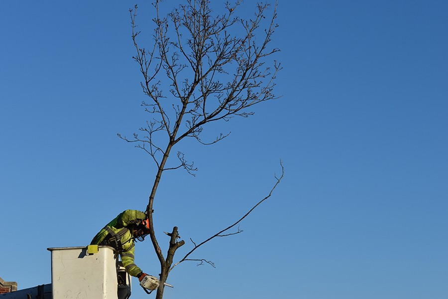 City workers remove what was left of one of the tornado-damaged trees. - KIRK WILLIAMSON