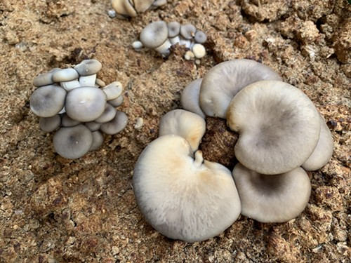 Black pearl and blue oyster mushrooms - MIKE SULA