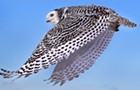 It's snowy owl season, motherfuckers
