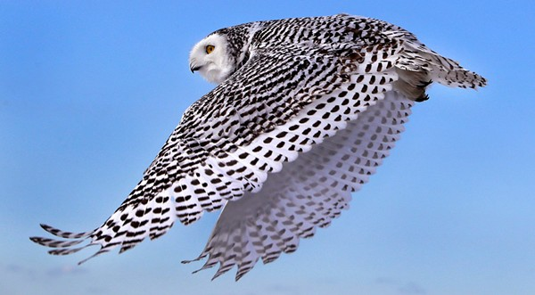 A snowy owl (photo added 2018)