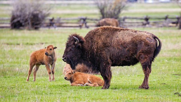You—yes, you—are likely less than two hours away from seeing bison roaming the prairie.