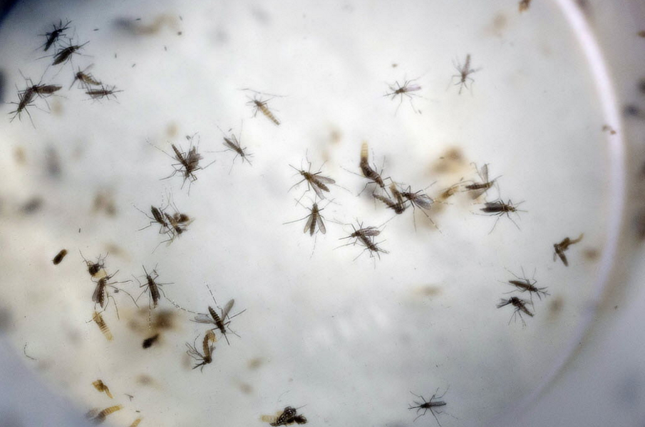 Aedes aegypti mosquitoes, the species that transmits Zika virus, at a lab in Colombia - AP PHOTO/RICARDO MAZALAN, FILE