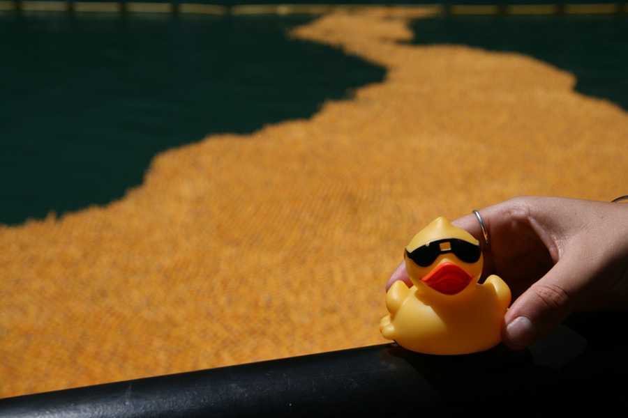 Thousands of ducks cruise down the Chicago River on Thu 8/4. - FRANCESCO MINCIOTTI