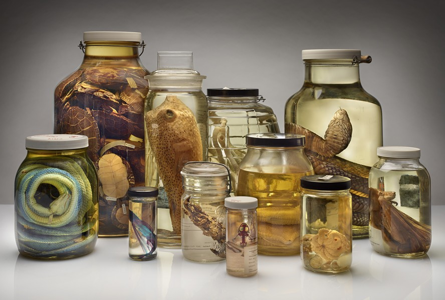 "The Field Museum's ""Specimens"" are on display at the Chicago Athletic Association's pop-up bar the Backroom. - COURTESY THE FIELD MUSEUM"