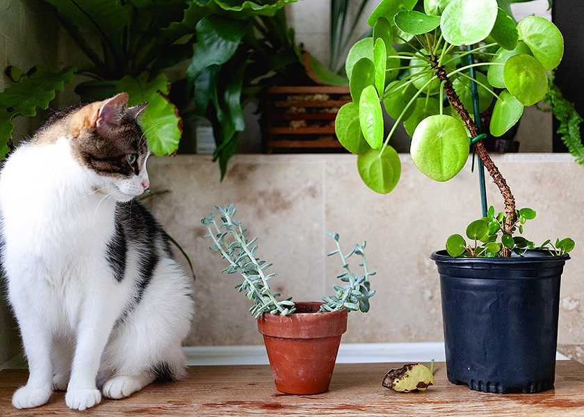 Sweet Dee eyes a sedevaria blue giant succulent next to a Chinese money plant. - SARAH BECKETT