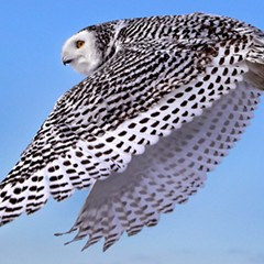 A snowy owl, coming soon to a lakefront near you