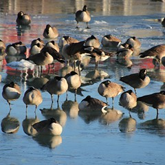 Geese sleep standing up, with their heads tucked into their bodies for warmth in Chicago on Friday, January 29, 2021. Canada Geese aren't threatened by Chicago's cold winters—thick down insulation protects them from freezing.