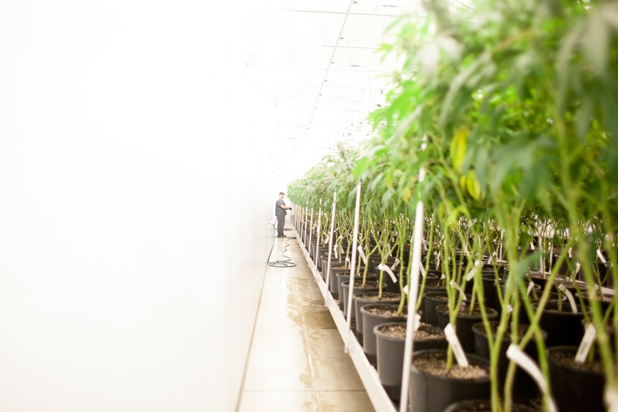 Revolution expects to eventually produce as much as 10,000 pounds of medical marijuana annually. - DANIELLE A. SCRUGGS