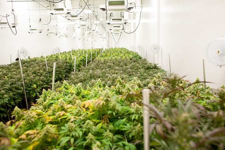 Each of the facility's five grow rooms holds hundreds of plants. - DANIELLE A. SCRUGGS